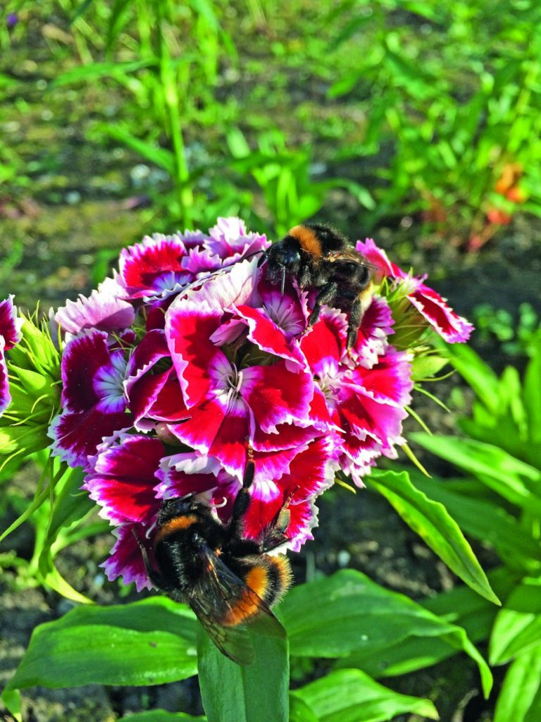 Bees on Sweet William by Sara Wilman